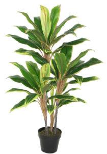 VARIGATED DRACENA PLANT